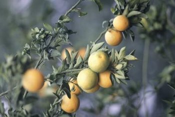 Citrus plants make great ornamental potted trees.