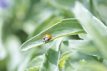 Ladybugs visit plants to feast on sap-draining aphids.