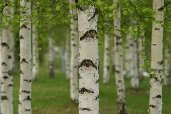 Birch tree seeds germinate best when properly planted.