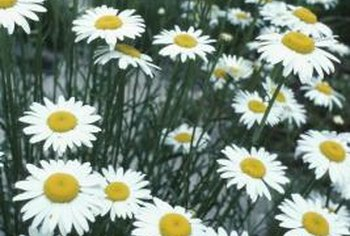 Groups of daisies can develop interlocking root systems.