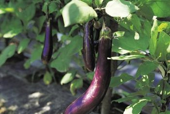 Pests can destroy your eggplant crop.