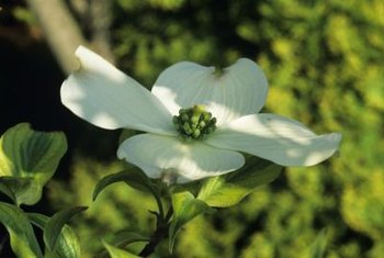 Dogwood's tiny, true flowers are clustered in the middle of the showy bracts.