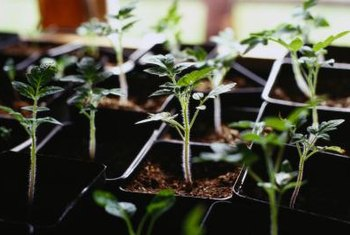 Tomato seedlings grow well in small indoor containers.