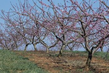 Apply sulfur spray to peach trees at bloom to control mites and fungi.