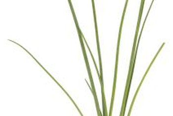 Chives, like many herbs, are prized for their flavorful foliage.