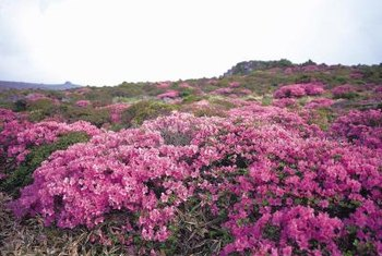 Heath plants form naturally bushy mounds covered with blossoms.