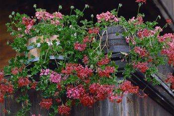 Hardy geraniums will bloom more profusely in certain conditions.