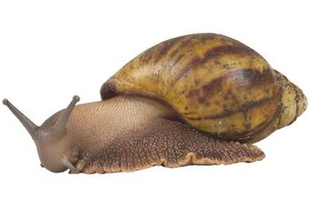 There are about 40 species of snails in the United States.