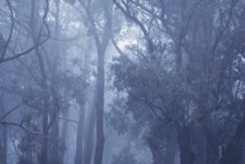 Eucalyptus trees grow very quickly, often reaching a height of 80 feet or more in 10 years.