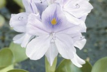 The flowers of this hyacinth cultivar resembles those of its wild cousins.