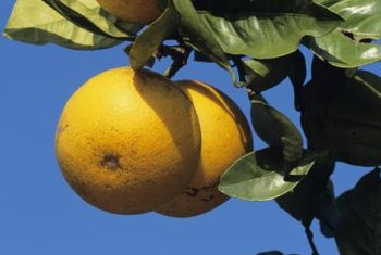 Grapefruit trees grow in a variety of soil types, depending on the attributes of their rootstock.