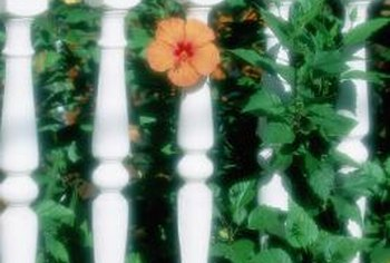 Hibiscus can be kept at a height suitable for foundation or fence plantings.