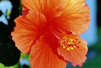 A Hibiscus With Shriveled Leaves Home Guides Sf Gate