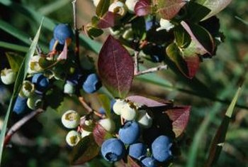 Oregon grape holly's berries appear in late summer.