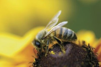 Bees transfer pollen grains for successful flower fertilization.