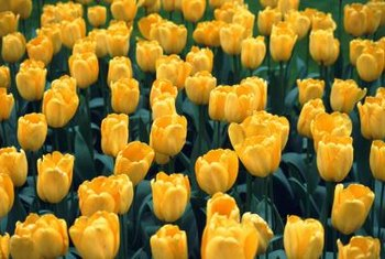 Yellow tulips will grow in most U.S. Department of Agriculture Plant Hardiness zones, but are perennial only in zones 3 through 7.