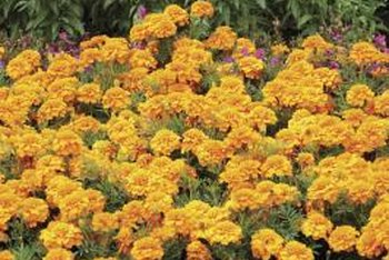 Marigolds add a spark of vibrant color to any backyard garden.