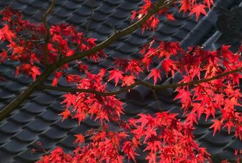 "The ""Autumn Blaze"" maple is named for its intensely colored fall foliage."