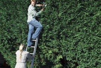 Evergreen hedges serve the triple purposes of noise reduction, privacy and windbreak.