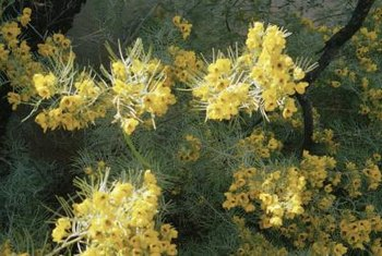 Palo verde provides spectacular color to the desert landscape.
