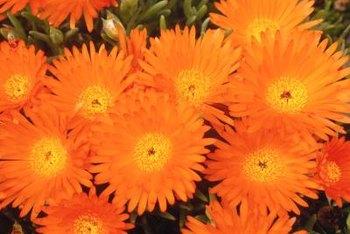 Orange perennial flowers home guides sf gate orange perennial flowers invigorate the garden mightylinksfo
