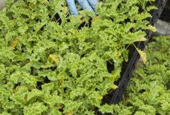 Young lettuce plants peeking through the soil will satisfy even the most impatient gardener.