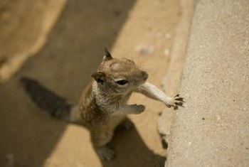 Resourceful squirrels could be trying to find a way into your home.