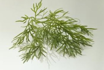 Regular trimming helps dill produce more foliage.