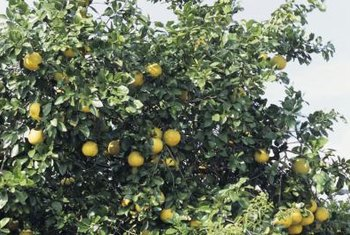 Standard grapefruit trees can reach large sizes.