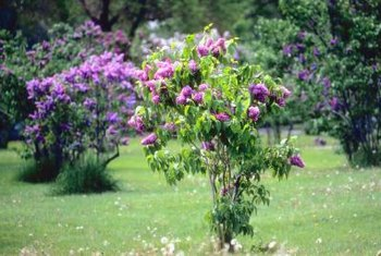 Old-fashioned lilacs come in a variety of colors including purple, pink, white and blue.