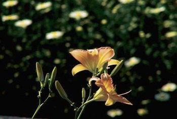 Fragrant day lily flowers come in a range of bright colors including red, orange and yellow.