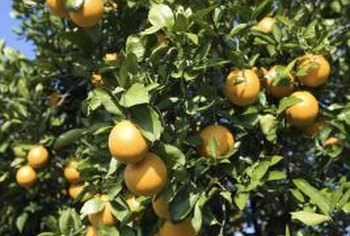 Perfect citrus fruit can be marred by disorders causing spots.