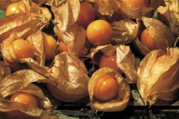 The papery husk protects ground cherry fruit during storage.
