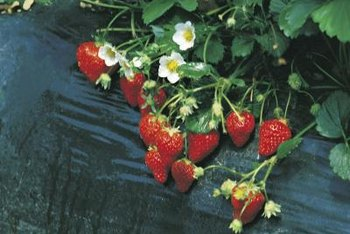 Tiered strawberry plants often produce clusters of easy-to-pick berries.