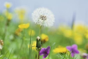Weeds such as dandelions spread through the wind and must be dug up at the roots to keep them away.