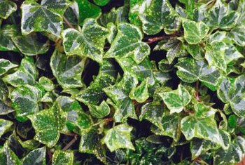 English ivy cultivars with variegated leaves.