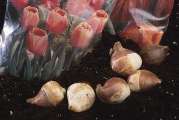 Tulip bulbs produce for years when stored properly.