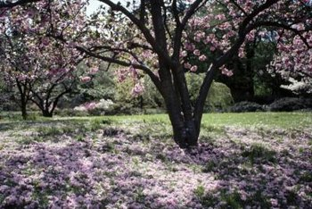 A healthy cherry tree continues to produce lavish blooms as it ages.