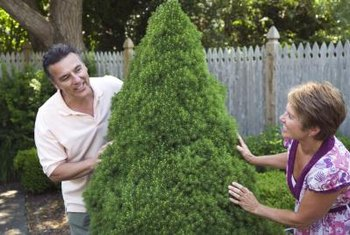 Cone-shaped evergreens make great spiral topiaries.