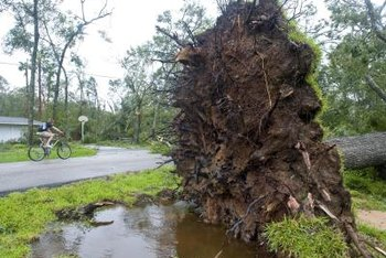 A mature tree's roots are easily damaged by nearby roads or construction -- with catastrophic results.