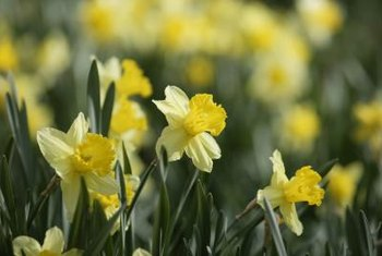 Tete-a-Tete daffodils are part of the narcissus family.