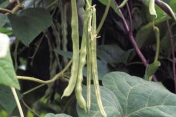 Bean Plants Will Not Bloom Without Flowers You Won T Have A Crop Of Beans