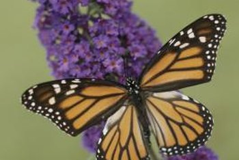 Butterfly bush attracts beneficial insects, including butterflies.