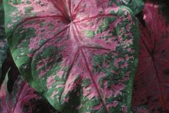 Caladiums brighten up shady corners with their colorful leaves.