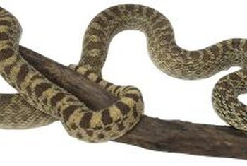 The nonvenomous gopher snake is often mistaken for a rattler.