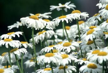 Some daisy varieties reach only 12 inches tall.