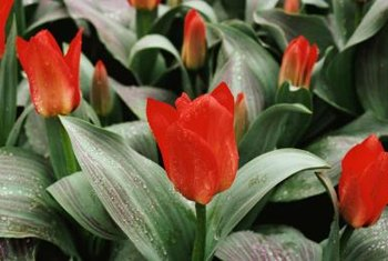 More adaptable species tulips are often shorter with variegated foliage.