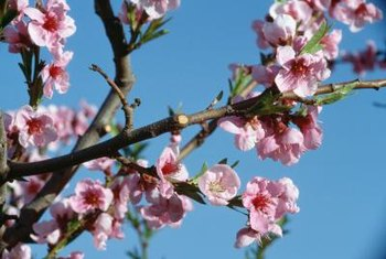 The fragrant blooms of peach trees and roses attract beneficial insects.