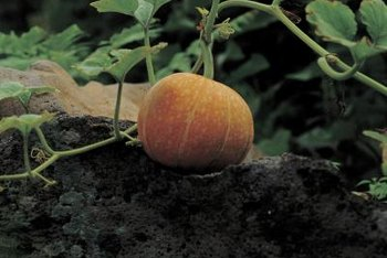 Squash and gourds are subject to the same diseases and pests.