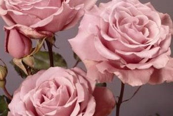 "With their double blooms, ""Sterling Silver"" roses are ideal for cutting."